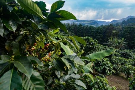 Monteverde El Trapiche coffee farm